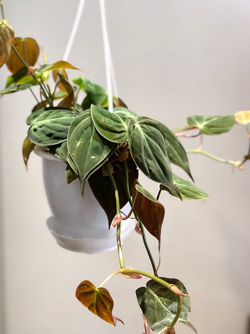 """Philodendron Mican (5"""")"""