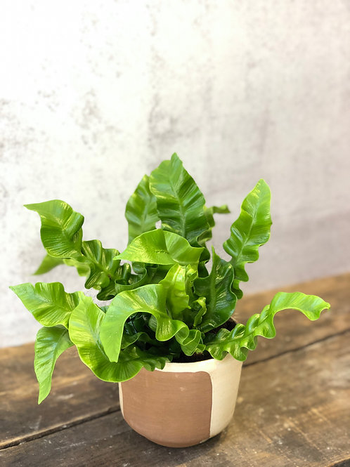 "Crispy Wave Fern (4"")"