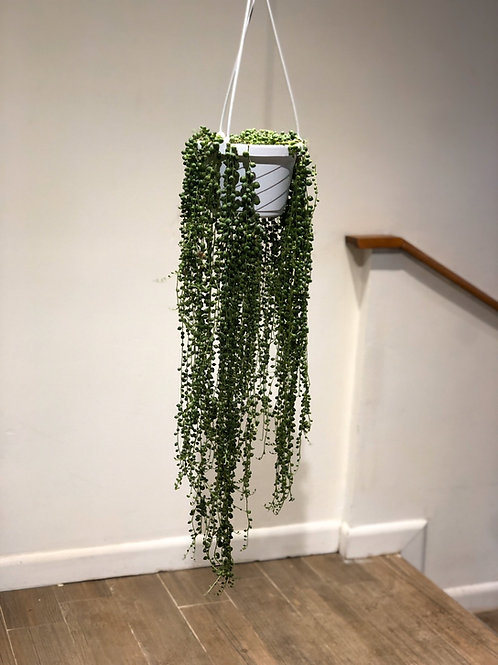 "String of Pearls (6"")"