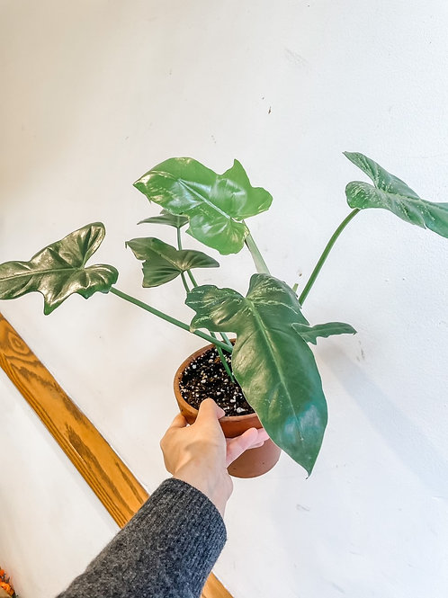"""Philodendron Golden Dragon 5"""""""
