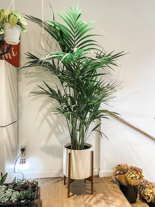 "Kentia Palm 12"""