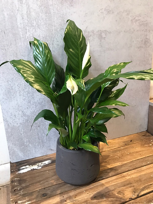 """Peace Lily (Spath) 4"""""""
