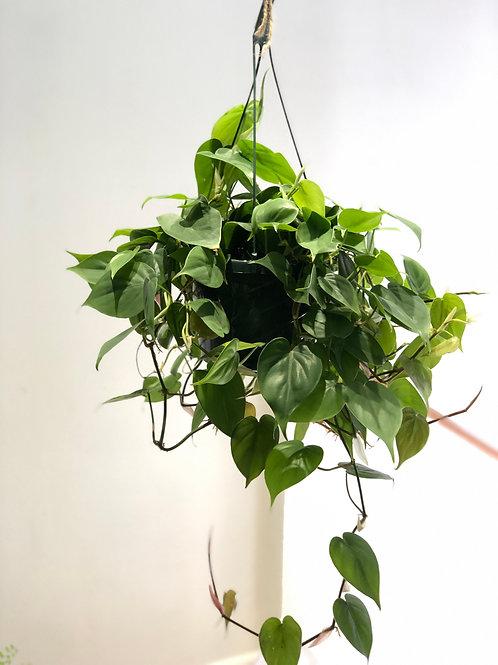 "Philodendron Cordatum (8"")"