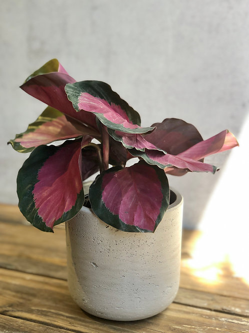 "Calathea Roseopicta Rosy 4"""
