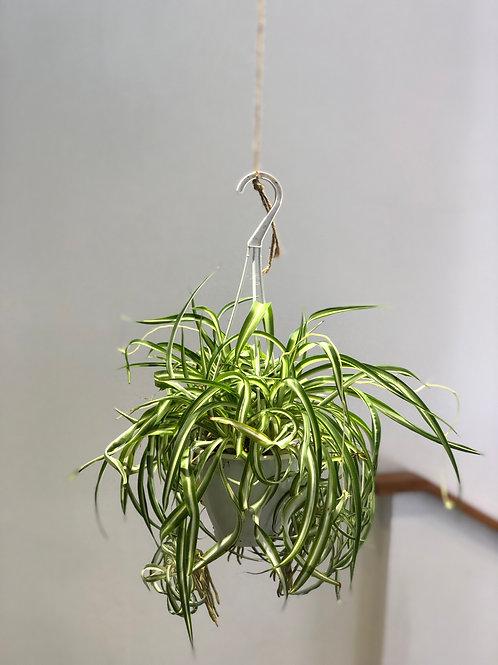 "Spider Plant (5"")"