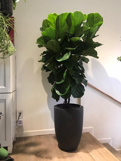 """Ficus Lyrata (14"""")"""