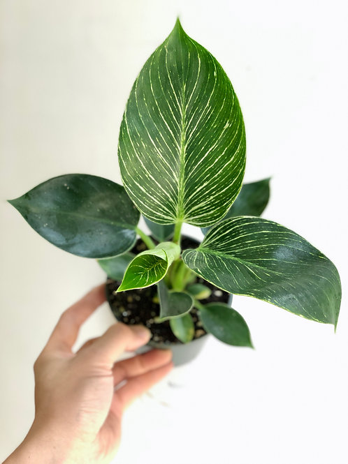 "Philodendron Birkin (4"")"