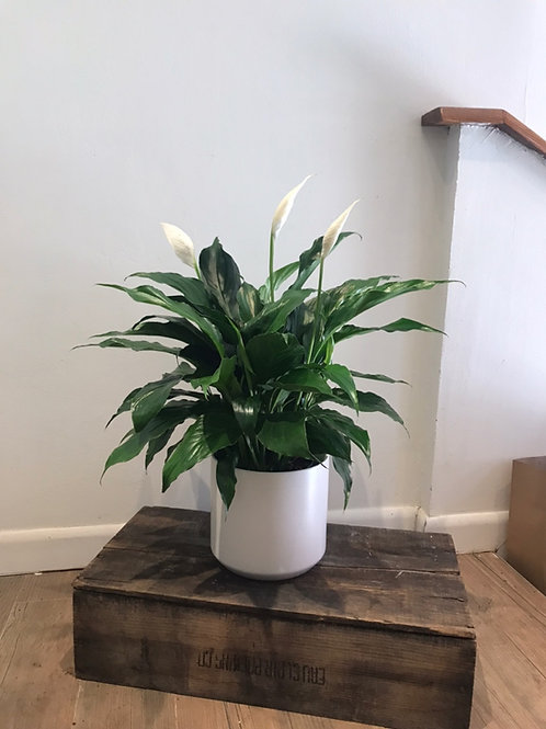 Peace Lily (Spath) 6""