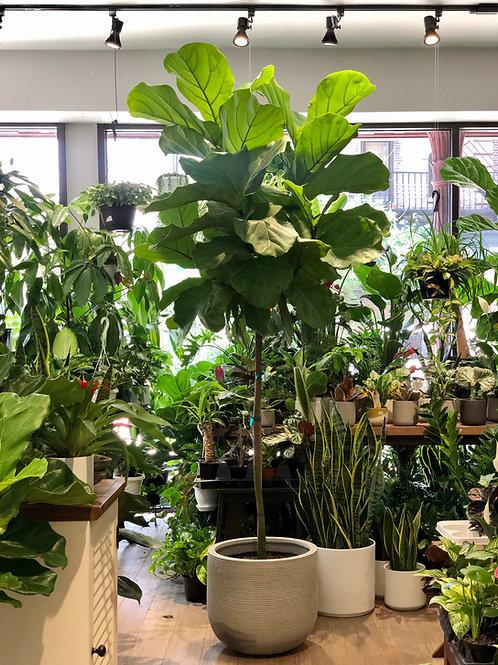 "Ficus Lyrata Standard (14"")"