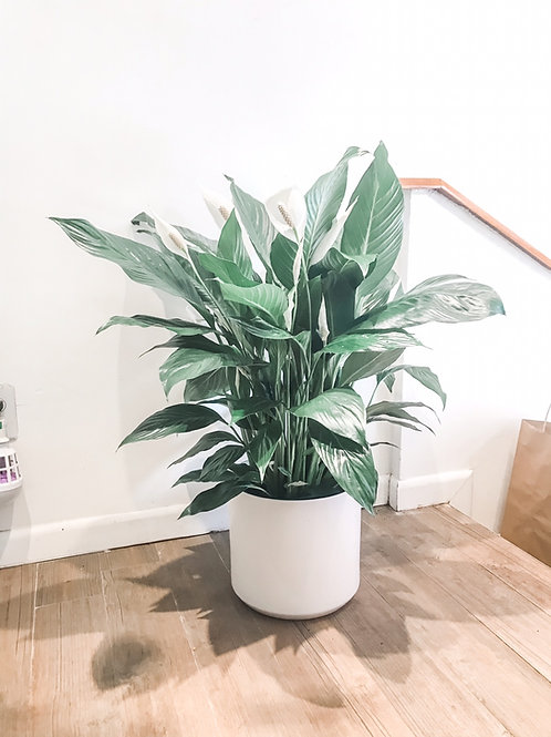 Peace Lily (Spath) 10""