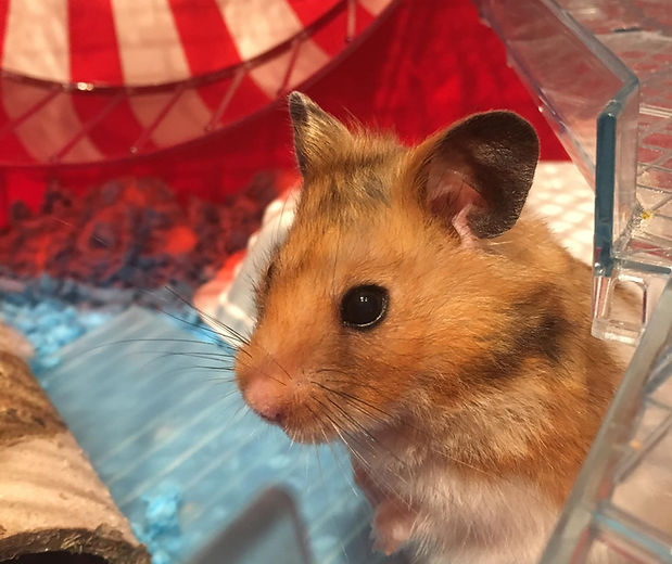 Hamster guest