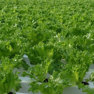 Clean Iceberg lettuce