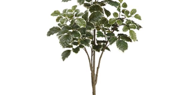 Beech Tree 45''