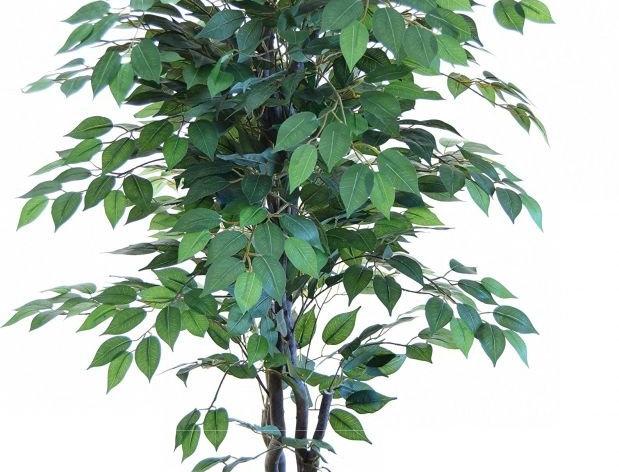 Planta Verde Ovalada