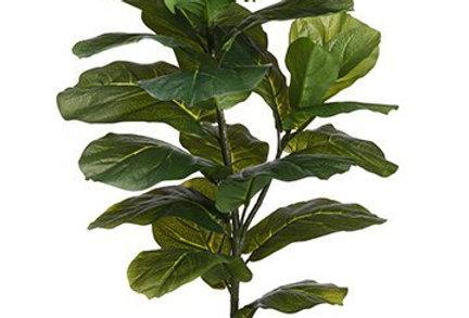 "Ficus Pandurata 31.5"""