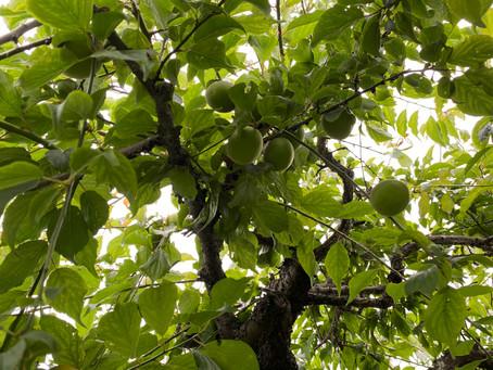 庭の木 梅
