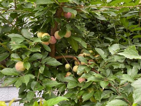 庭の木 スモモもヤマモモも