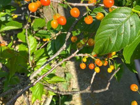 枝から食べる桜桃
