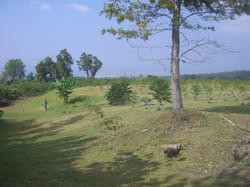Young coffee field
