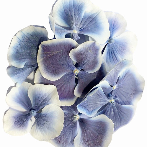 Iris Dream Hydrangea