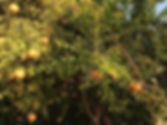 Granatapfelbaum in der Türkei