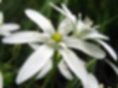 Die Bachblüte Pine