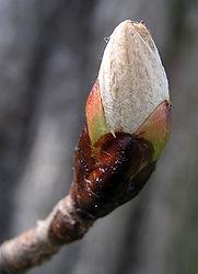 Chestnut Bud - Knospe der Kastanie