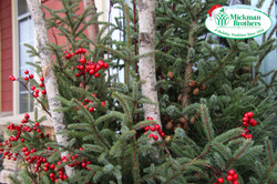 spruce-tip-large-pot-sized