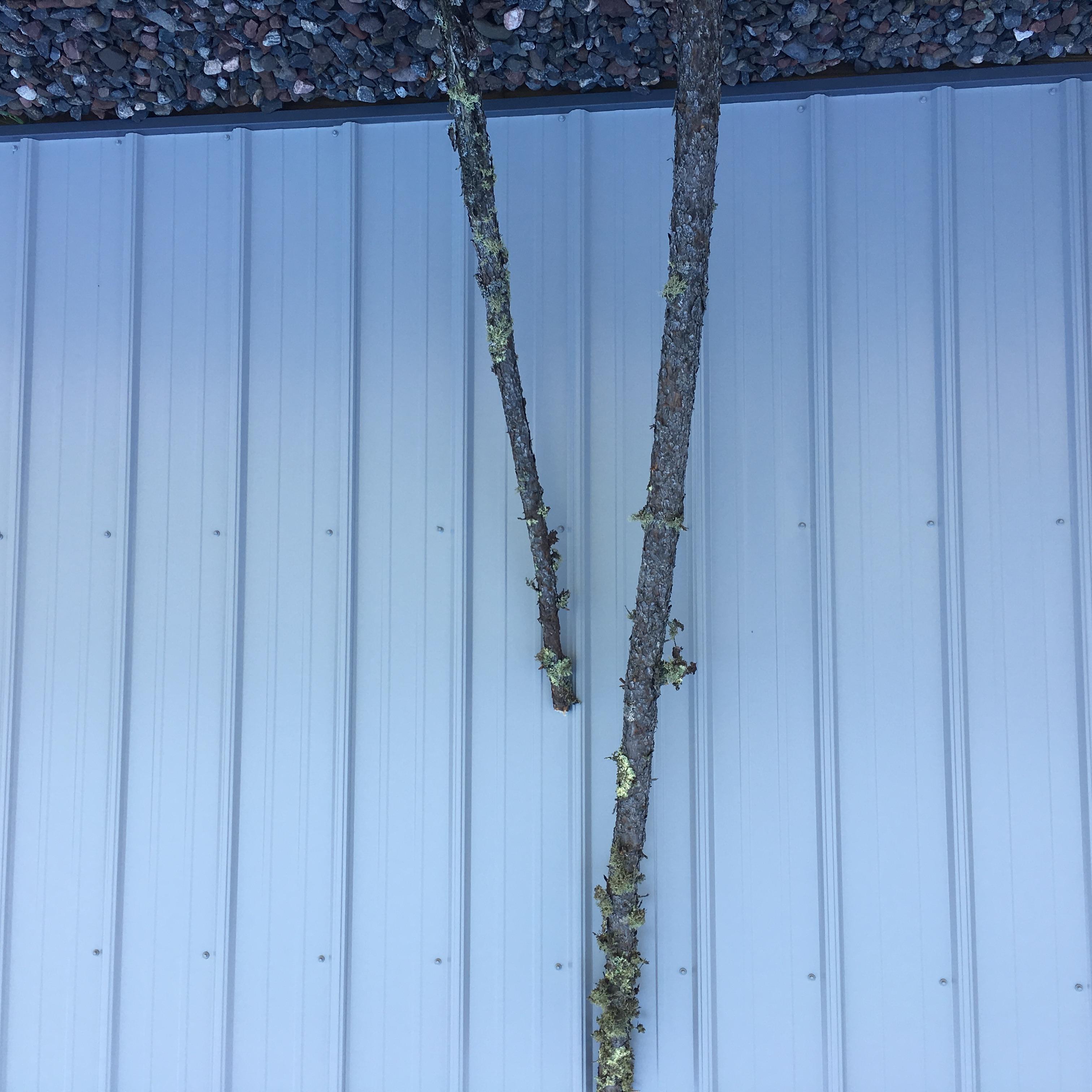 Black Spruce Poles