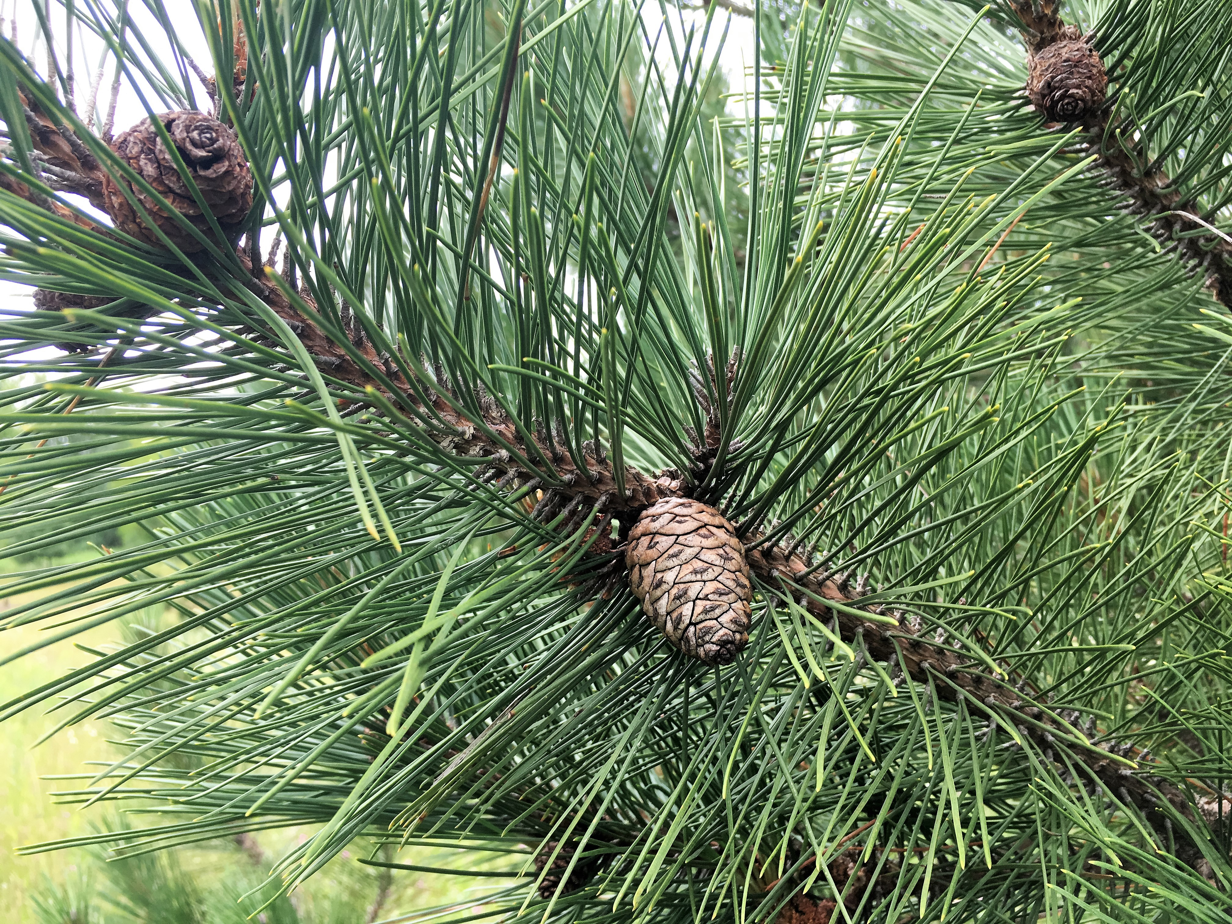 Red Pine Boughs