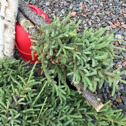 Spruce Tops - Window Box