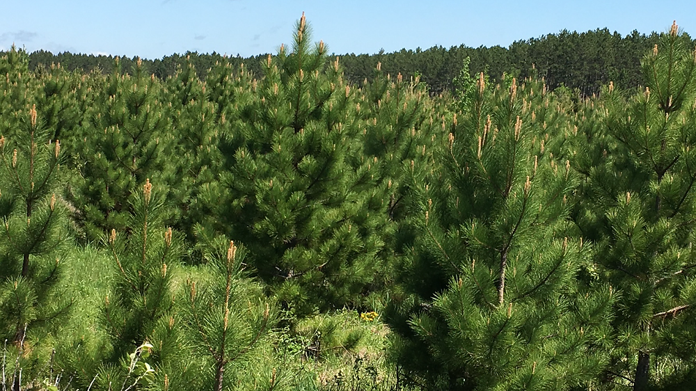 Minnesota grown red pine
