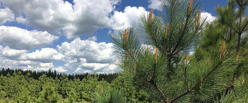 red pine.JPG
