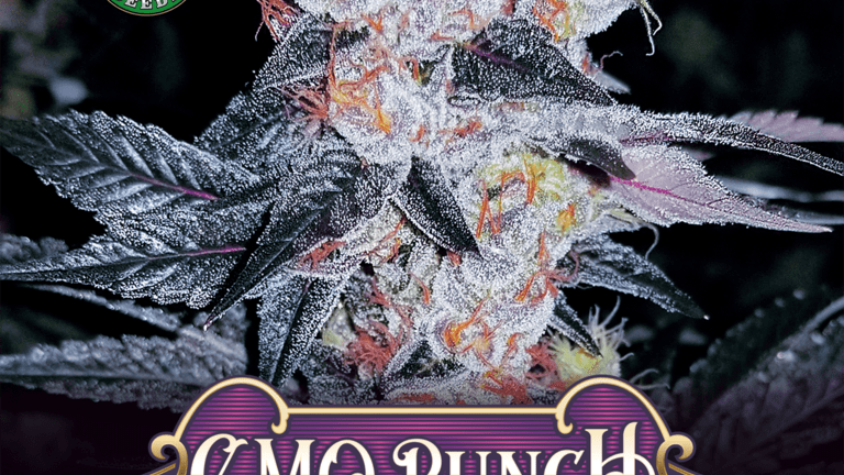 Greenpoint-GMO Punch 6 Fems seed Pack