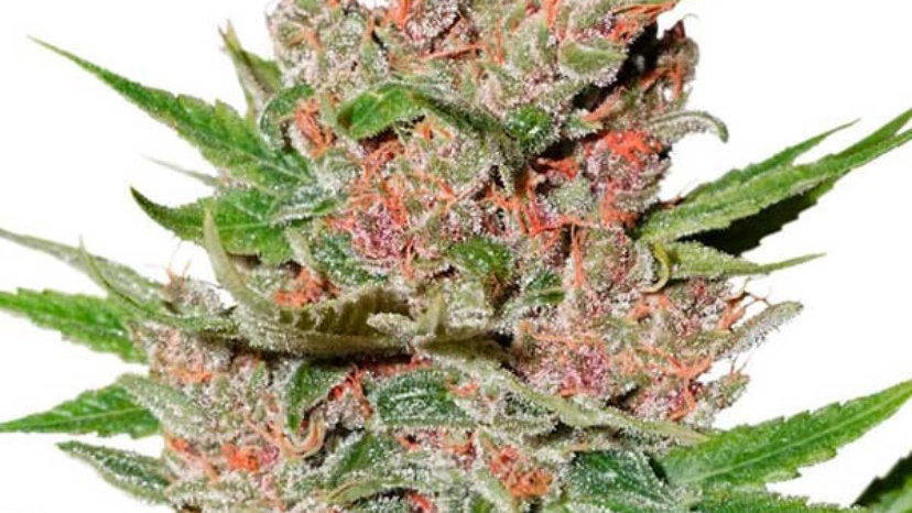 Passion Fruit Feminized Atuo 5 seed pack