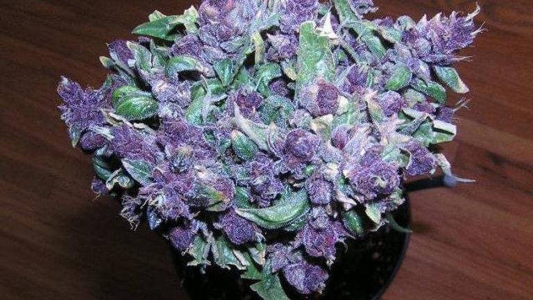 Purple Haze 5 Feminized Auto pack