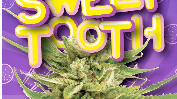 Sweet Tooth Indica Feminized Marijuana Seeds