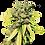 Thumbnail: Lambs Breath Autoflower 5 Seed Pack