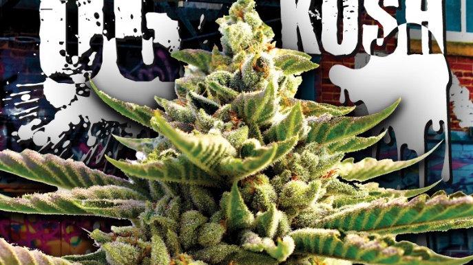 Super OG Kush Indica Feminized Marijuana Seeds