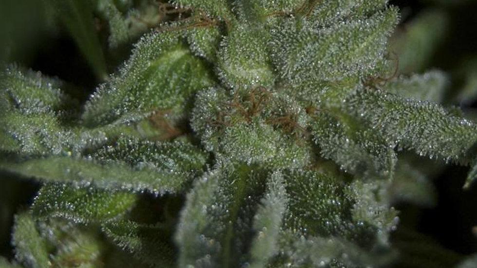 Budda Tahoe OG 6 Seed Fem Pack
