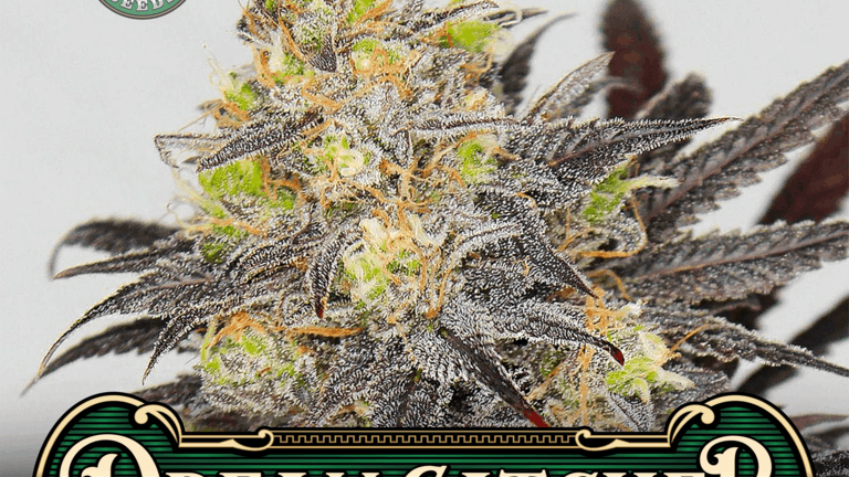 Greenpoint-Dream Catcher 10 regular seed pack