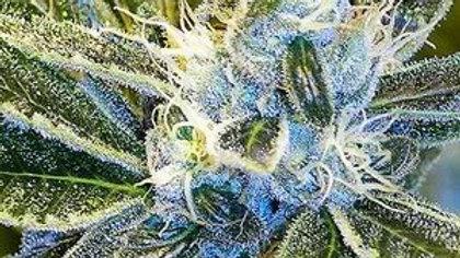 Blue God-10 Pack Regular seeds