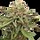 Thumbnail: Gelato Feminized 5 seed Pack
