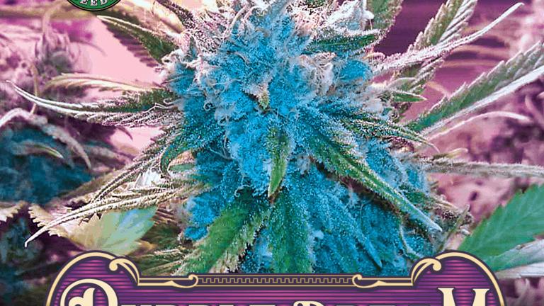Greenpoint-Purple Dream 6 Fem seed pack