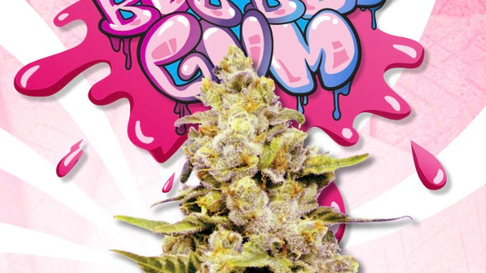 Bubblegum Hybrid Feminized Marijuana Seeds