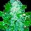 Thumbnail: Cali OG Kush Haze 5 seed Pack