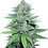 Thumbnail: Green Crack Feminized