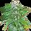 Thumbnail: Sour Diesel Feminized 5 seed Pack