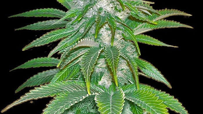 Sour Diesel Feminized 5 seed Pack