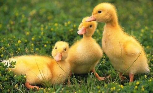 Duck baby.jpg